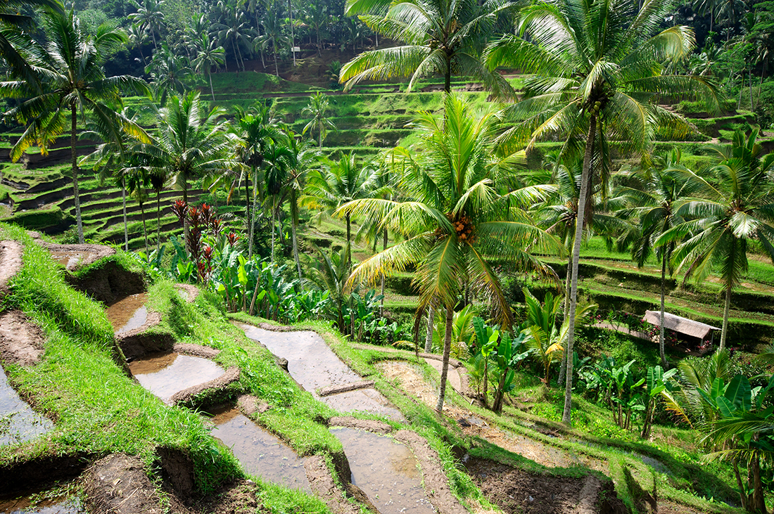Beautiful green terrace paddy fields, Bali, Indonesia