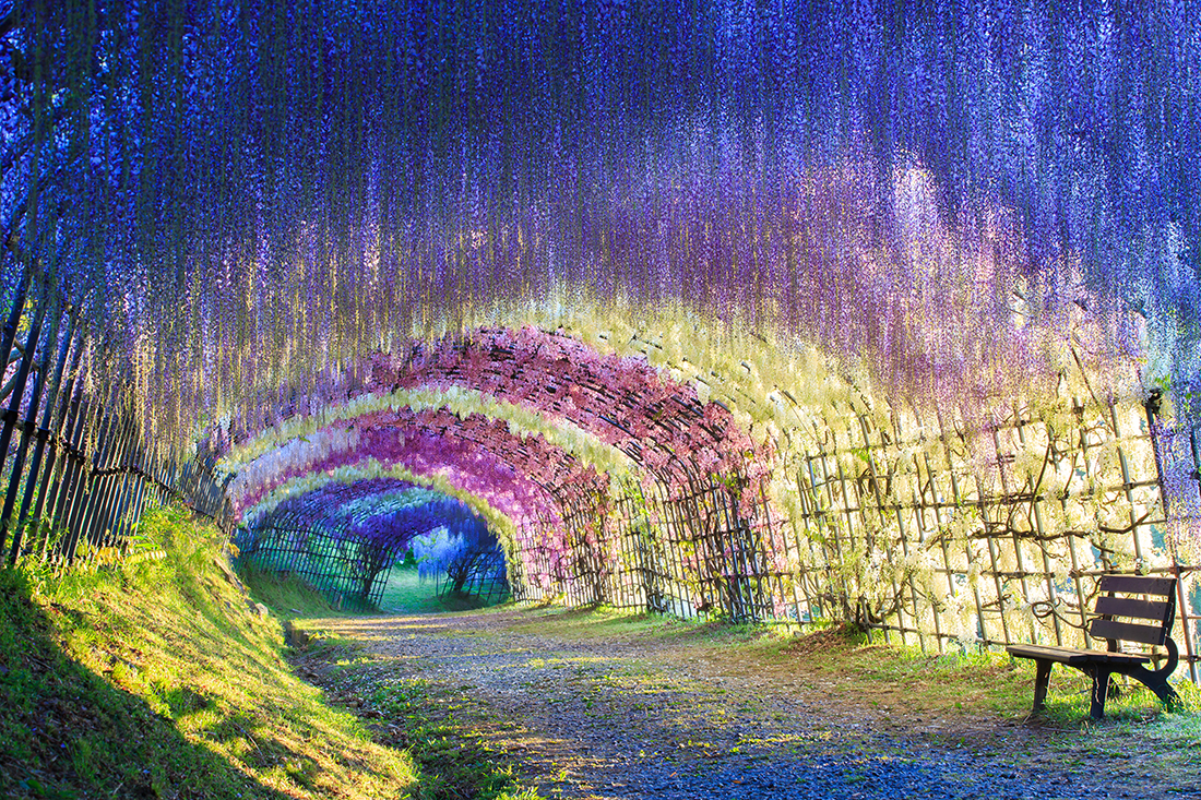 Great Wisteria tunnel, Japan