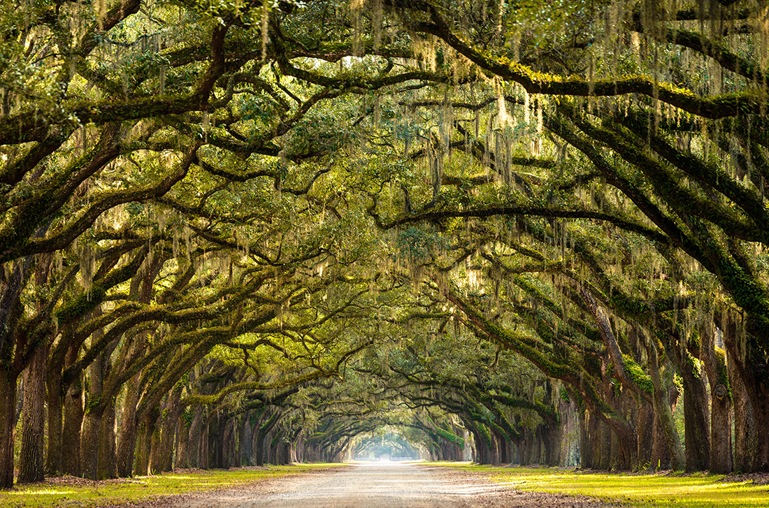 Long path lined oak trees, Savannah, Georgia