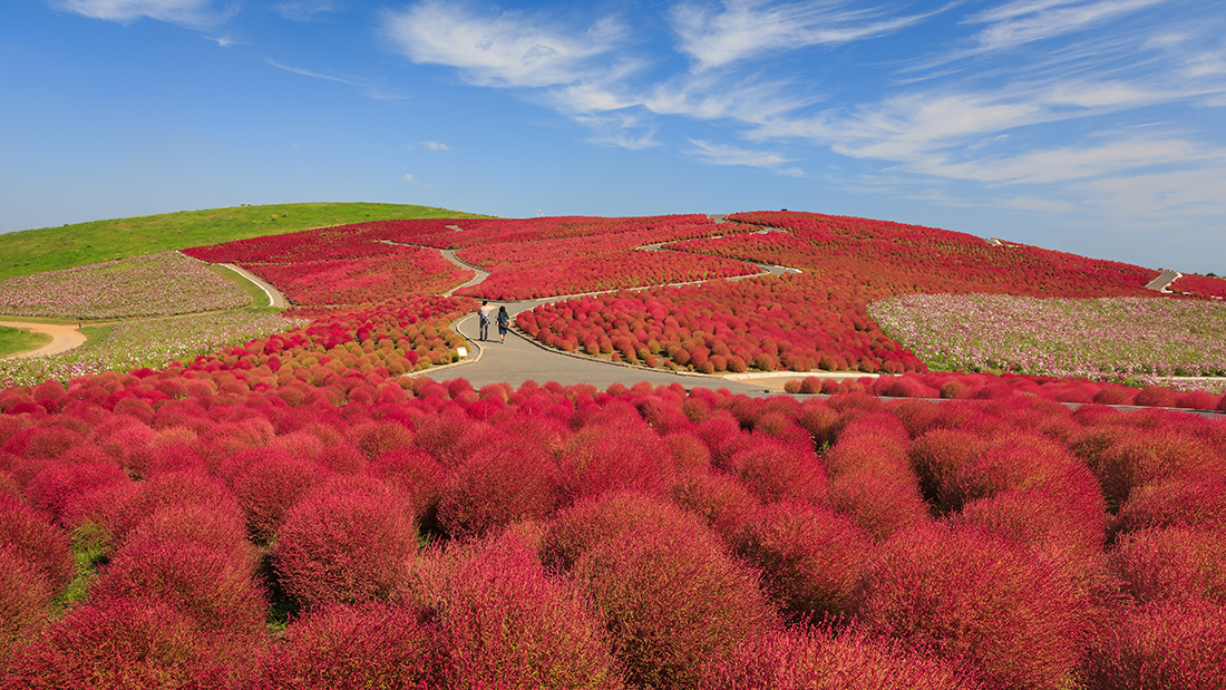 Cosmos and Kochia, Japan