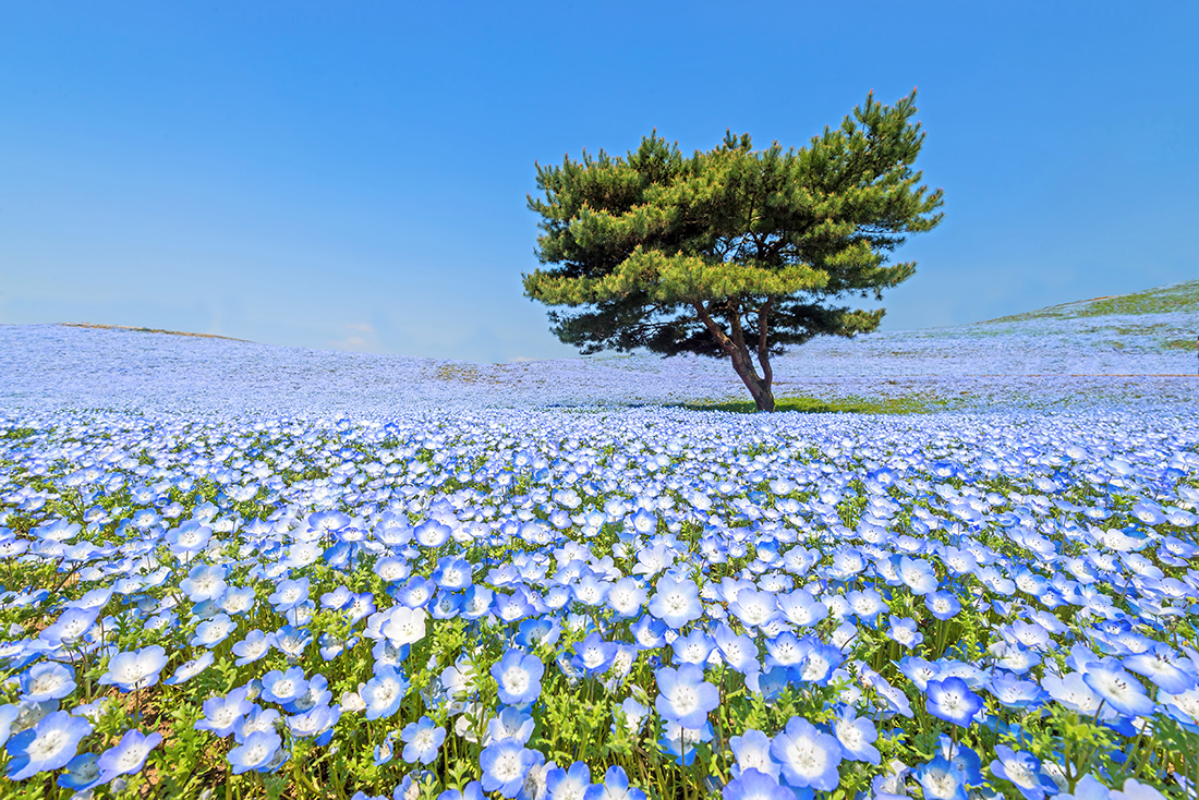 Nemophila, Hitachi Seaside Park, Japan