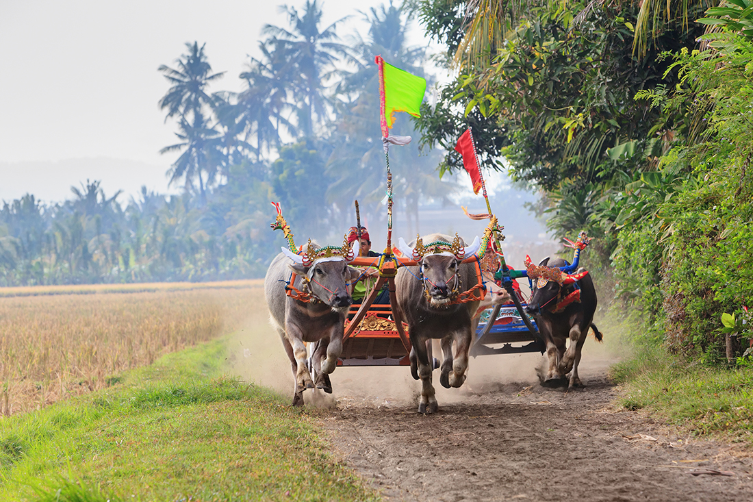 Running bulls in ceremonial barong mask, beautiful decorations in action on traditional balinese water buffalo races Makepung. Arts festivals in Indonesia and Asia, Bali, people ethnic culture
