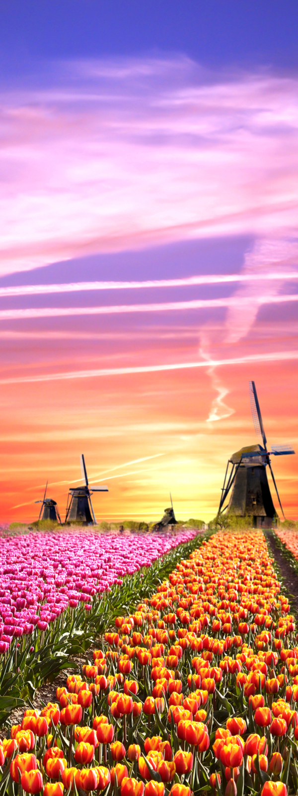 Windmills and tulips at sunrise, Netherlands