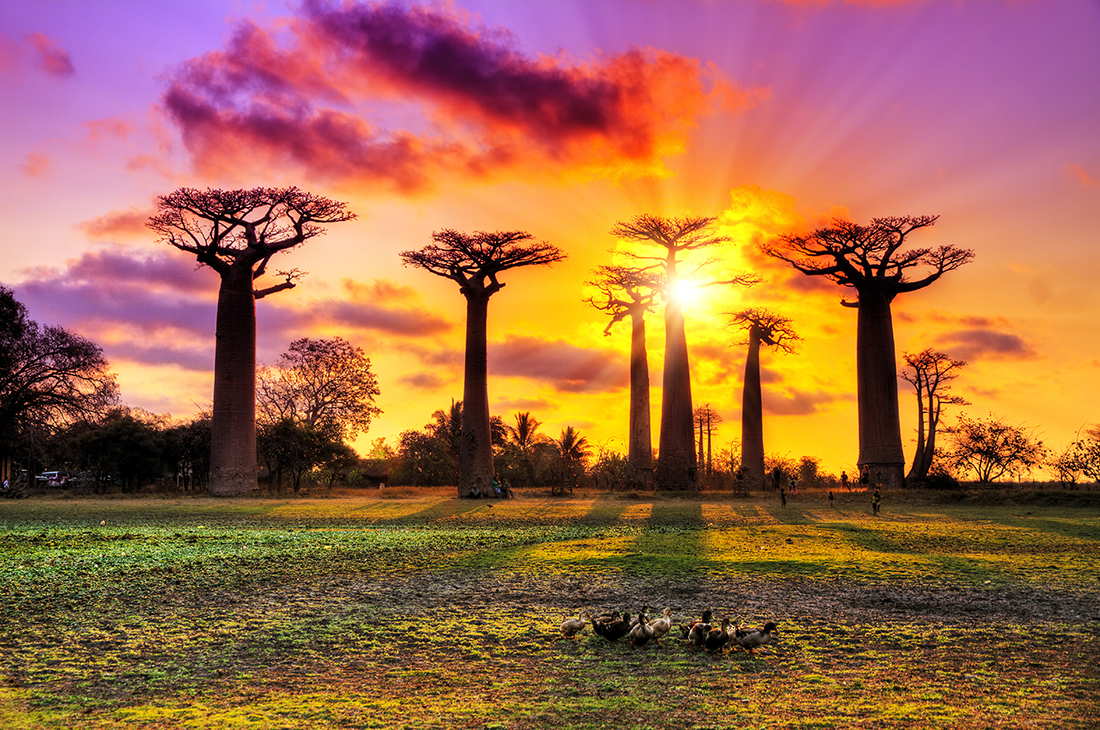 Baobab trees at the avenue of the baobabs, Madagascar