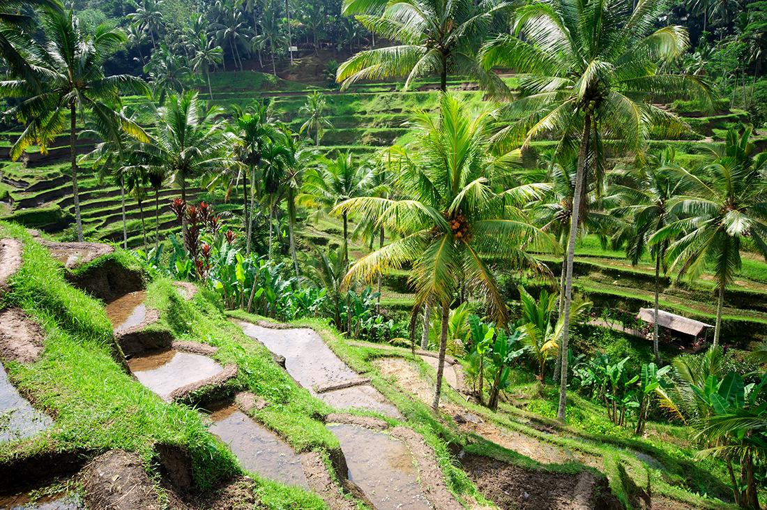 Beautiful green terrace paddy fields, Bali, Indonesia