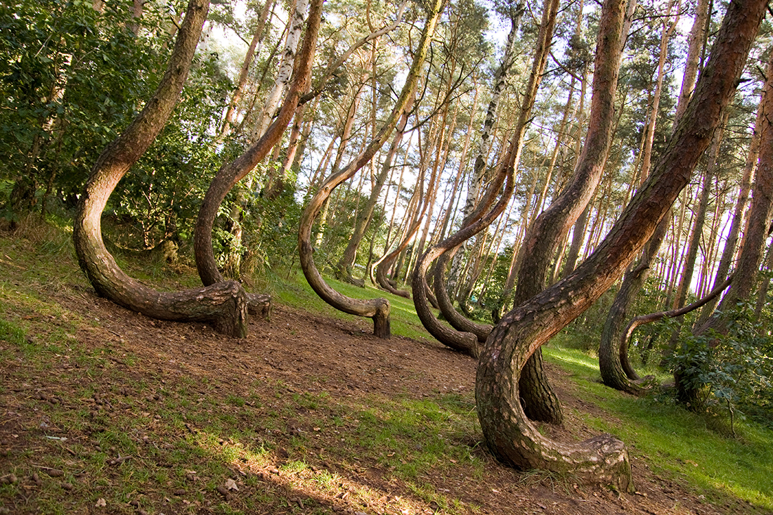 Curved forest reserve, Poland