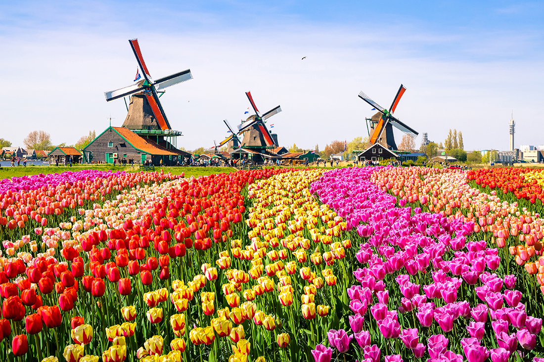 Landscape with tulips, Netherlands