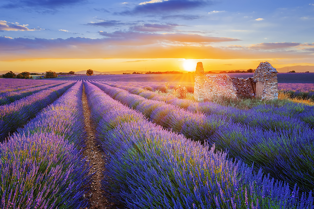Purple lavender field, Valensole, France